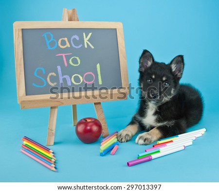 Cute little Pomsky puppy laying on a blue background with a back to school sign and school supplies all around him. - stock photo