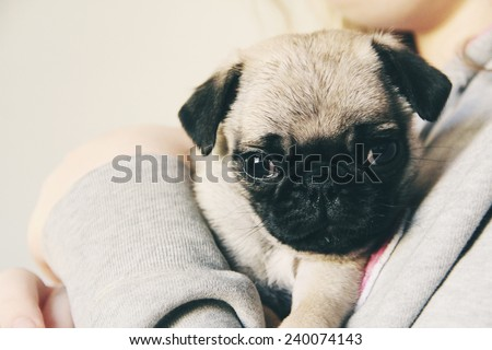 cute little pug puppy - stock photo