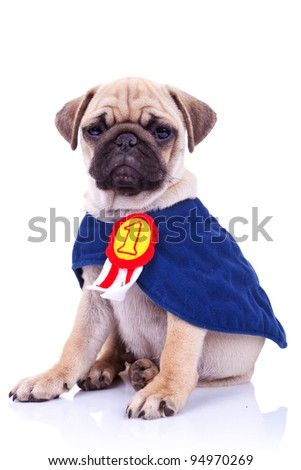 cute little pug puppy dog champion sitting on white background. seated mops puppy wearing a number one ribbon cape - stock photo