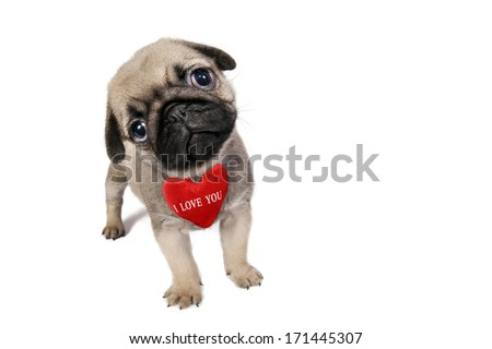 """Cute little Pug puppy with sign """"I Love You"""" isolated on white . - stock photo"""