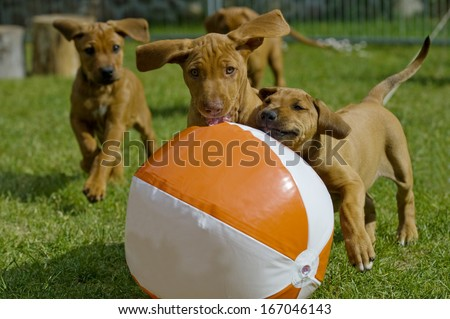 Cute little puppies playing together with a big water ball in garden. - stock photo