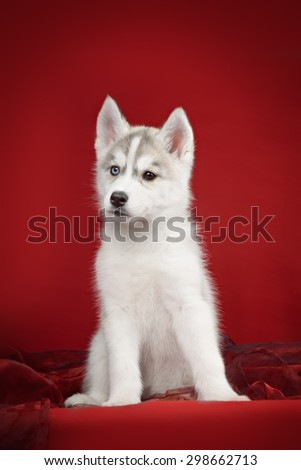 Cute little puppy of syberian husky - stock photo