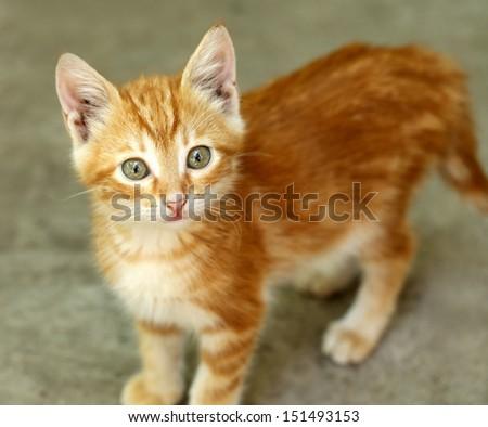 Cute little red kitten - stock photo
