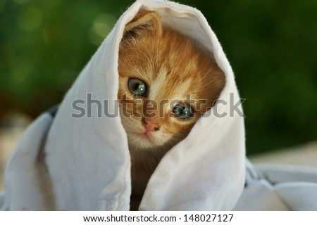 cute little red kitten sitting under white cloth and looking at you - stock photo