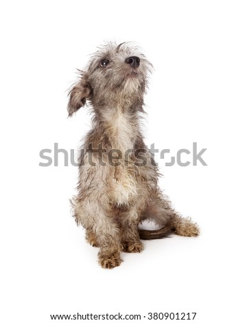 Cute little rescue mixed breed dog with dirty and scruffy fur sitting on a white background looking up - stock photo