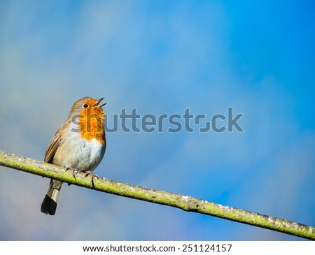 cute little robin bird singing on a tree branch  - stock photo