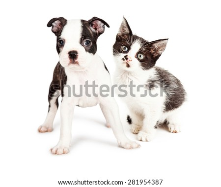 Cute little seven week old Boston Terrier puppy standing with a little black and white kitten. Both are looking at the camera. - stock photo