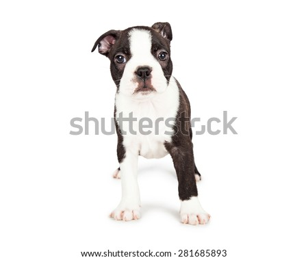 Cute little seven week old Boston Terrier puppy with a shy and scared expression. Isolated on white.  - stock photo