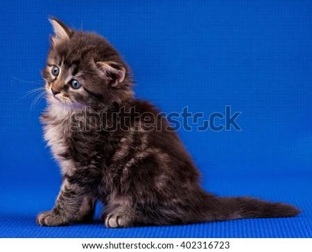 Cute little siberian kitten over blue background - stock photo