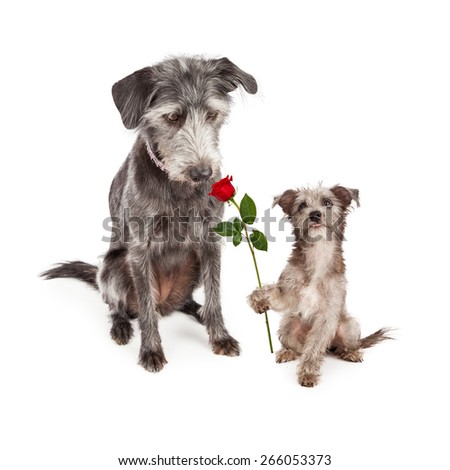 Cute little terrier crossbreed puppy dog lokking up at his mother and handing her a single red rose flower for Mother's Day - stock photo