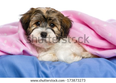 Cute little tricolor Havanese puppy dog is lying on a bed under a pink blanket. Isolated on a white background  - stock photo