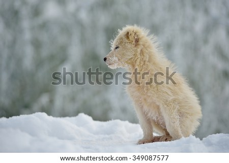 cute little white dog outdoor in winter - stock photo