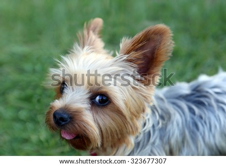 Cute little yorkie with a puppy cut - stock photo