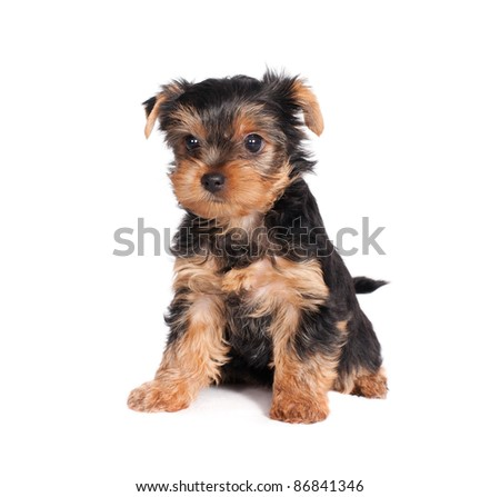 cute little yorkshire terrier puppy isolated on white background - stock photo