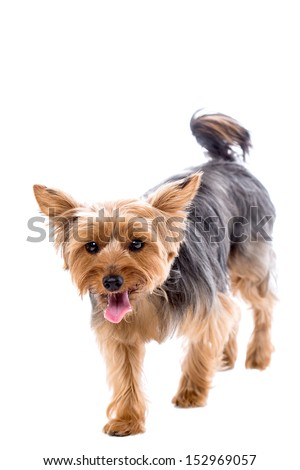 Cute little yorkshire terrier walking towards the camera with an alert expression and panting with its tongue out, isolated on white with copyspace - stock photo