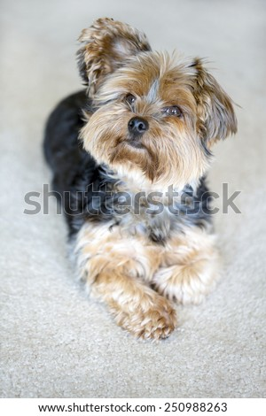 Cute little yorkshire terrier with floppy ear - stock photo