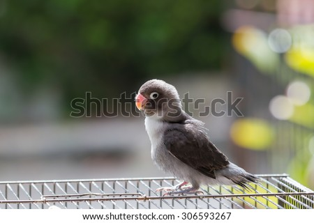 Cute lovebird standing on the cage - stock photo