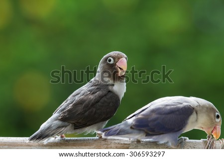 Cute lovebirds standing and playing on the perch - stock photo