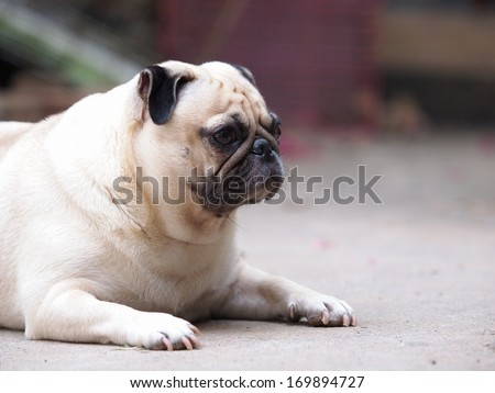 cute lovely white fat pug dog  lying on the floor making moody face looking straight forward - stock photo