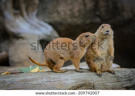 Cute Loving Prairie Dogs - stock photo