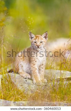 Cute lynx cub sits in grass - stock photo