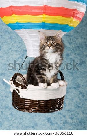 Cute Maine Coon kitten sitting inside hot air balloon - stock photo