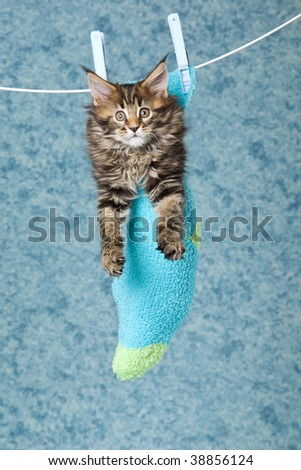 Cute Maine Coon kitten sitting inside sock - stock photo