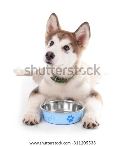 Cute Malamute puppy lying near metal bowl isolated on white - stock photo