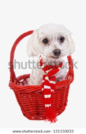 Cute Maltese dog in red basket wearing red and white scarf isolated on white background - stock photo