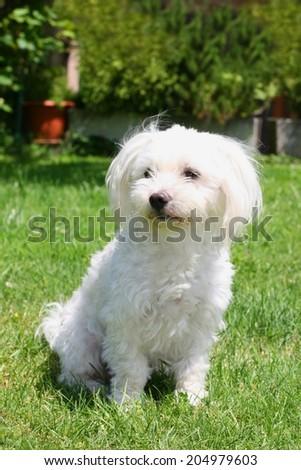 Cute maltese dog with cut hair for summer in a garden - stock photo