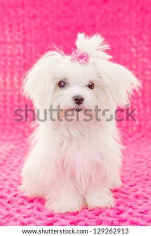 cute maltese puppy dog with pink bow - stock photo