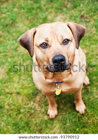 Cute Mastiff Mix Sitting on Backyard - stock photo