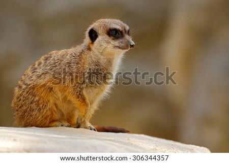 Cute Meerkat, Suricata suricatta, sitting on the stone - stock photo