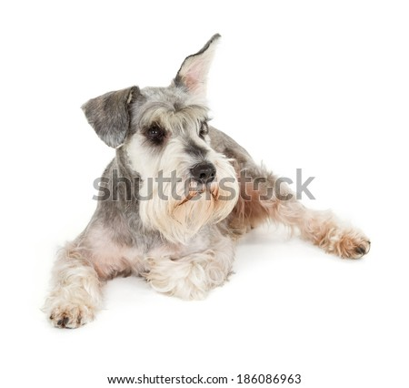 Cute miniature schnauzer isolated on white background - stock photo
