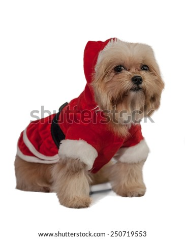 cute mixed breed dog dress in santa claus isolated in white background with clipping path - stock photo