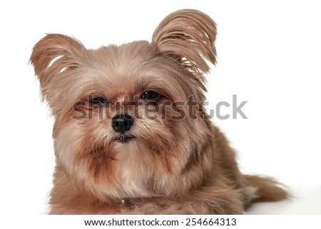 cute mixed breed dog making sleepy face isolated in white background with clipping path - stock photo