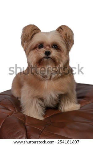 cute mixed breed dog sitting in leather bean bag with white background - stock photo