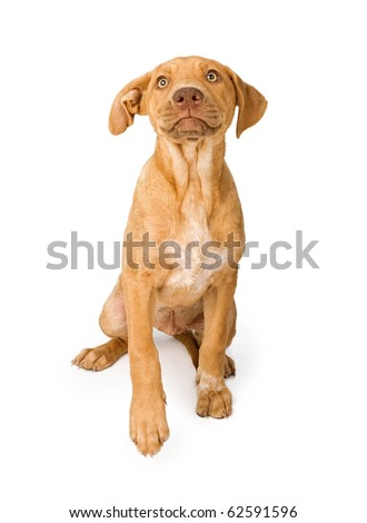 Cute mixed breed young puppy with tan coat and bright yellow eyes. Isolated on white. - stock photo