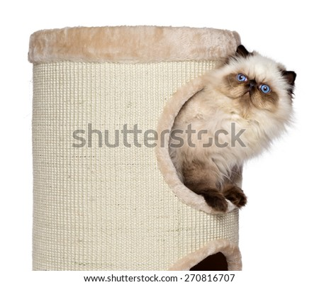 Cute 3 month old persian seal colourpoint kitten is looking out from a cat tower's right side, isolated on white background - stock photo