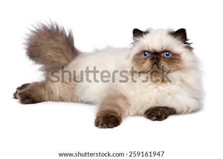 Cute 3 month old persian seal colourpoint kitten is lying, isolated on white background  - stock photo