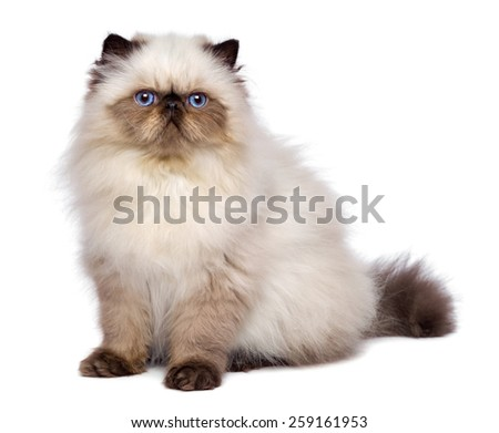 Cute 3 month old persian seal colourpoint kitten is sitting, isolated on white background  - stock photo