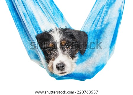 Cute 1 month old wire haired jack russell mix puppy against white background - stock photo