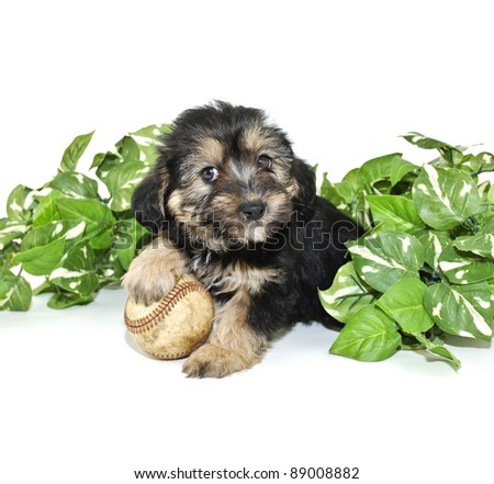 Cute Morkie puppy that looks like he is smiling, with a baseball, on a white background. - stock photo