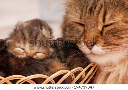 Cute newborn siberian kittens with their asleep mother on the background - stock photo