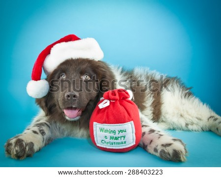 Cute Newfoundland puppy laying on a blue background, wearing a Santa hat, with copy space. - stock photo