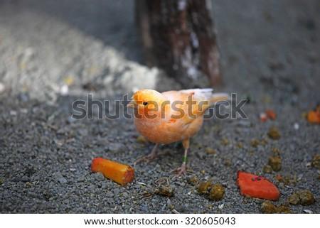Cute orange finch - stock photo