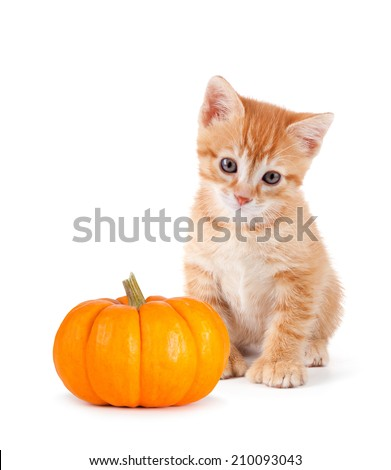 Cute orange kitten with a mini pumpkin isolated on a white background. - stock photo