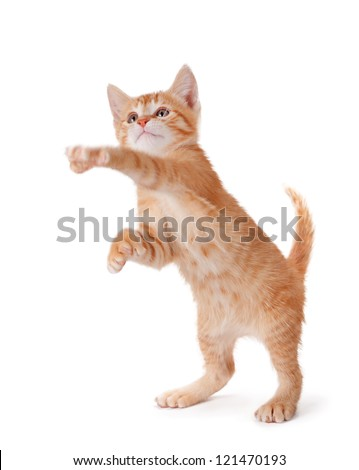 Cute orange kitten with large paws standing on its hind legs playing on a white background. - stock photo