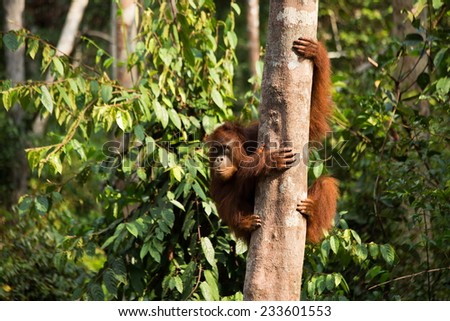 Cute Orangutan in the jungle of Borneo Indonesia. - stock photo