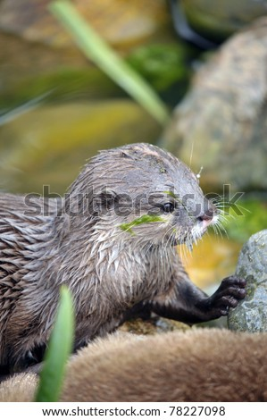 Cute Otters at the riverside - stock photo